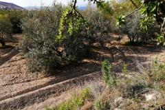 Olivos finca   03615-01 Zujar